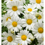 Argyranthemum frutescens Pure White Butterfly™