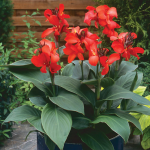 Canna Toucan™ Red