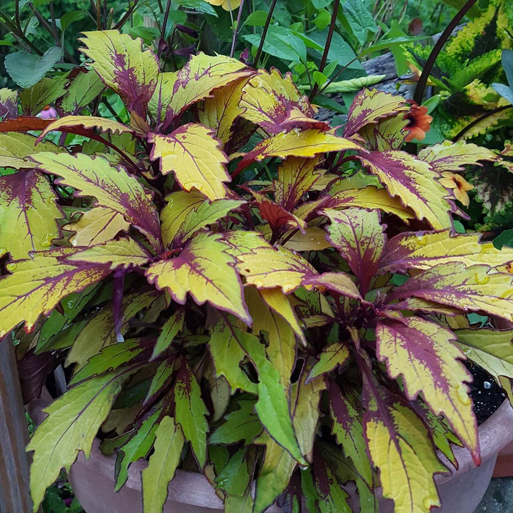 Coleus Flame Thrower™ Spiced Curry