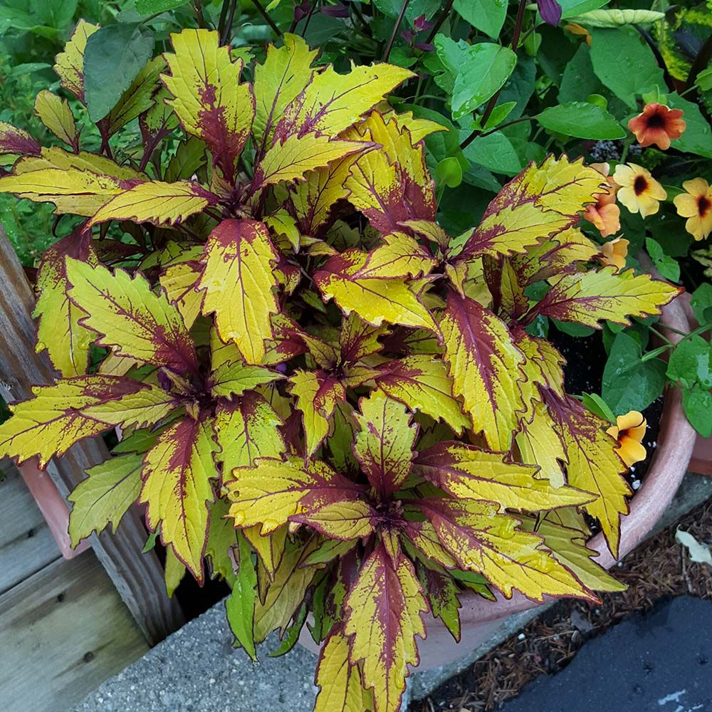 Coleus Flame Thrower Spiced Curry White Flower Farm