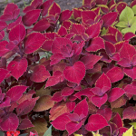 Coleus Ruby Slipper