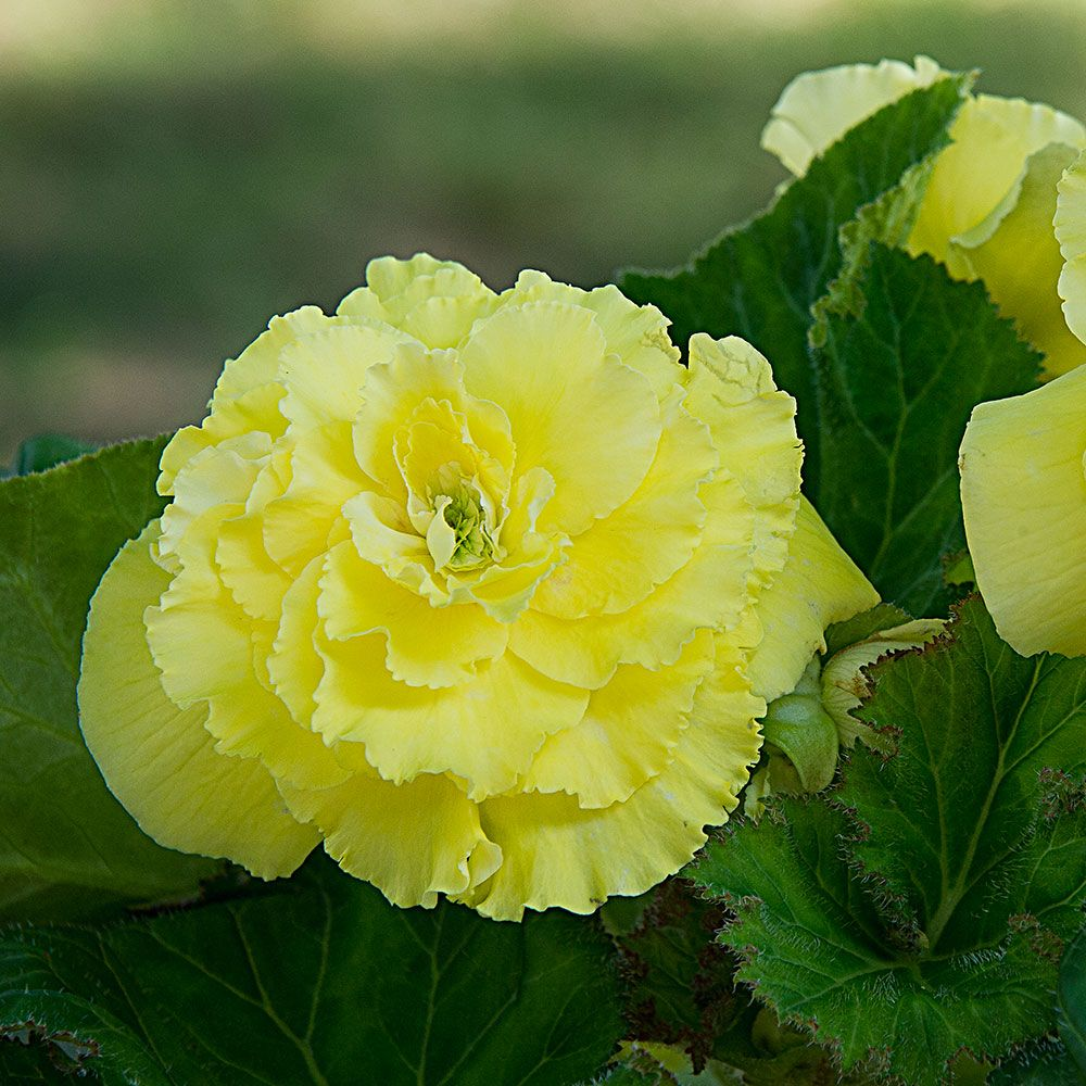 Begonia California Ruffled Yellow