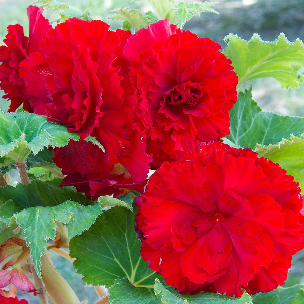 Begonia California Ruffled Red