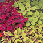 Dynamic Foliage Trio Coleus Annual Collection