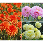 Jewel Dahlia Collection