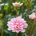 Dahlia 'Pink Perception'