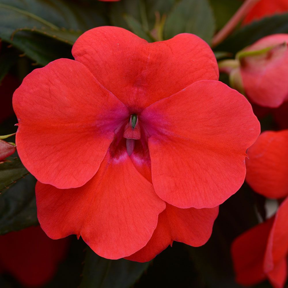 Impatiens Bounce Bright Coral White Flower Farm