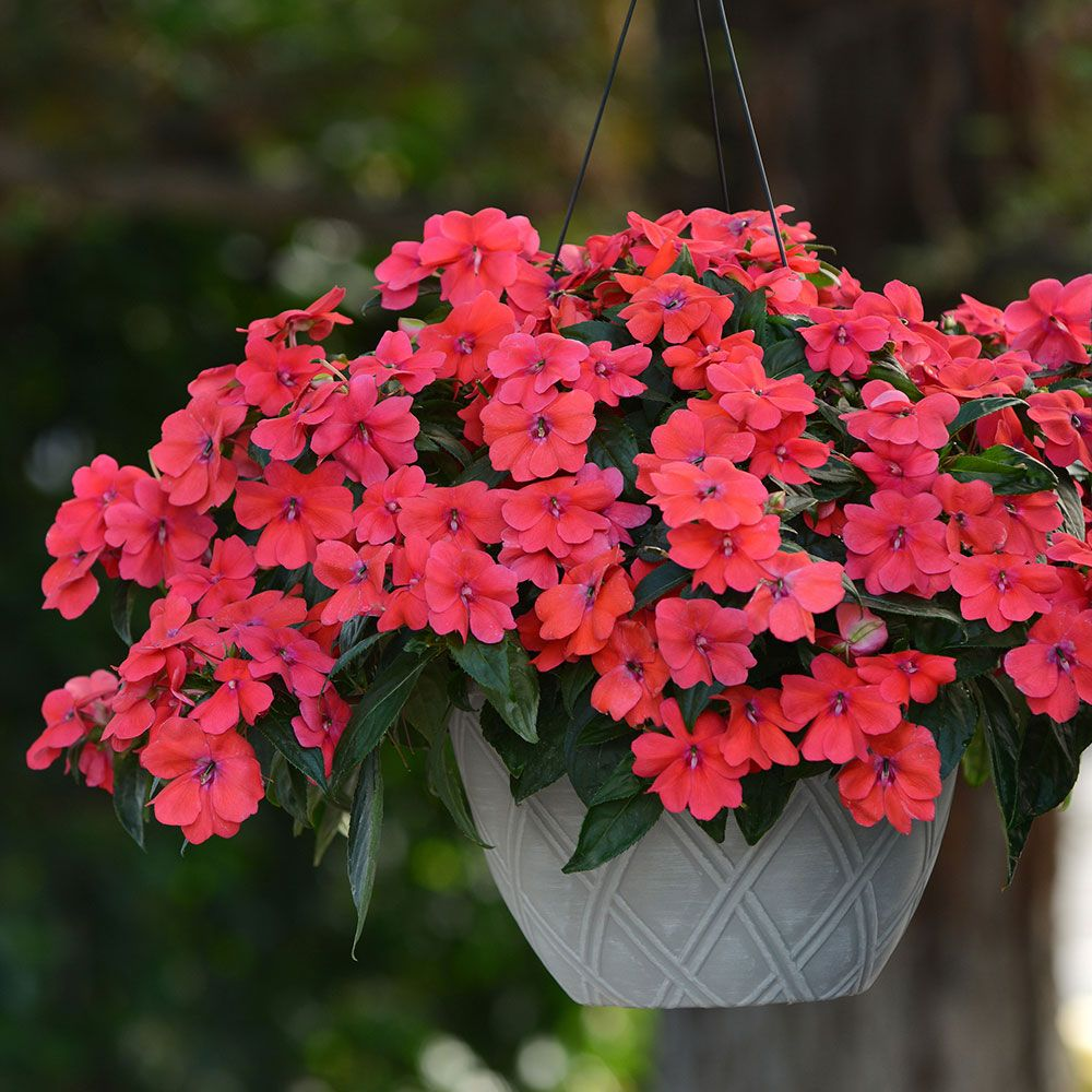 Brightest and best brand new annuals flowers for all impatiens bounce bright coral these plants are phenomenal for a couple reasons first as their name implies they have an ability to bounce back after izmirmasajfo Gallery