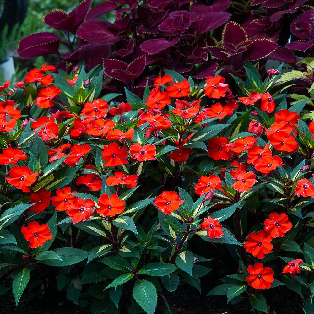 Impatiens SunPatiens® Vigorous Tropical Orange