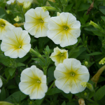 Petunia Easy Wave® Yellow