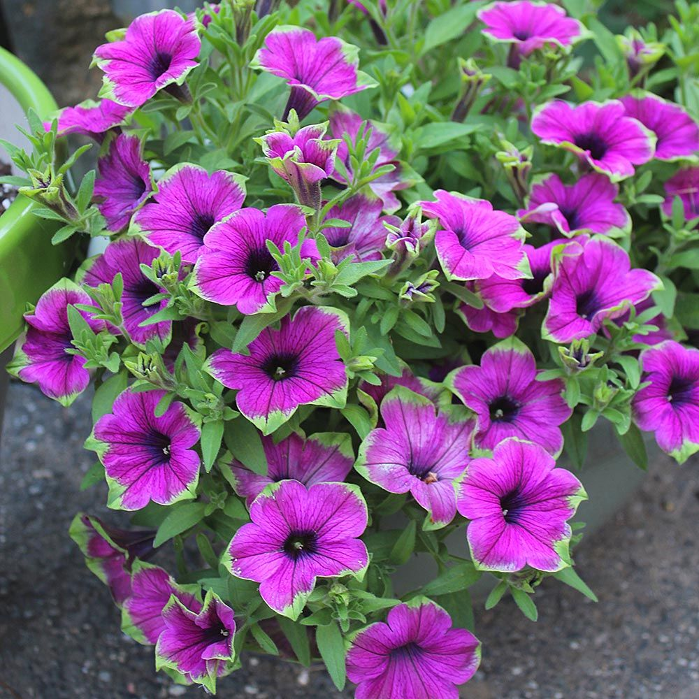 Petunia Supertunia® Picasso in Purple™