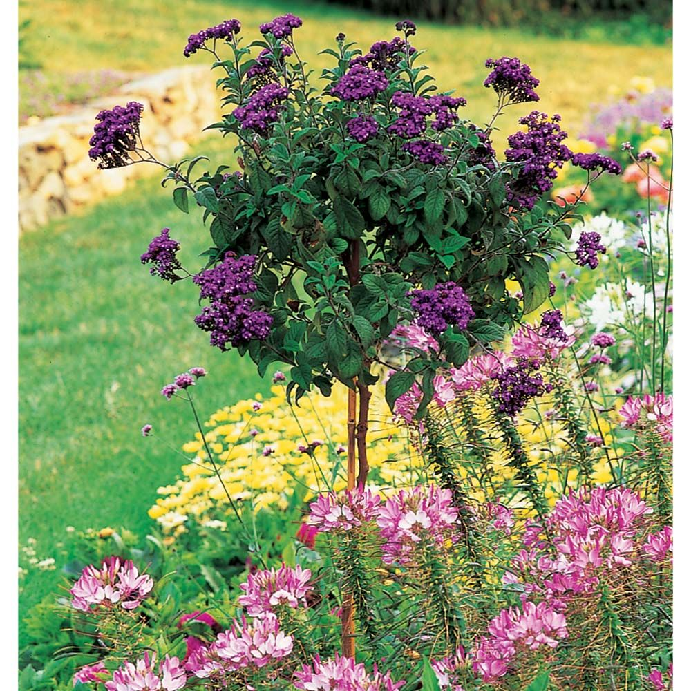 Heliotrope 'Fragrant Delight' Topiary