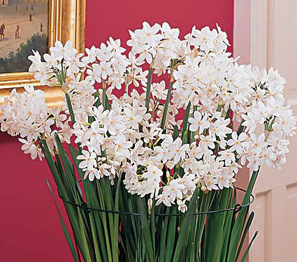 Paperwhite Ziva, 24 bulbs & soil