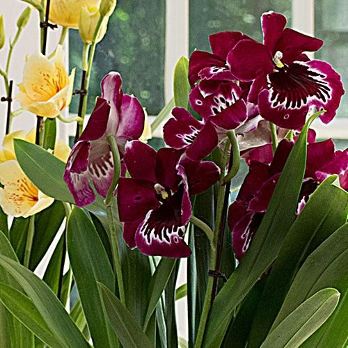 Burgundy Miltonia Orchid in 5