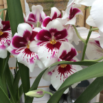 White and Burgundy Miltonia Orchid in 5