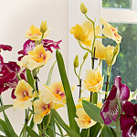Yellow Miltonia Orchid in 5