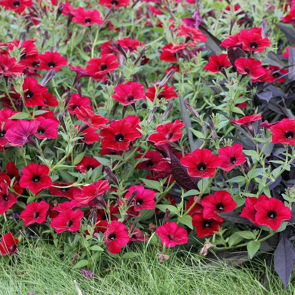 Petunia Tidal Wave® Red Velour