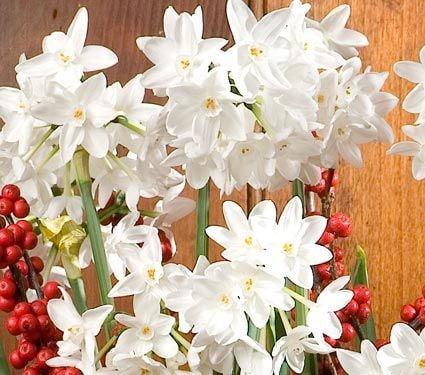 Paperwhite Ariel, 24 Bulbs & Soil
