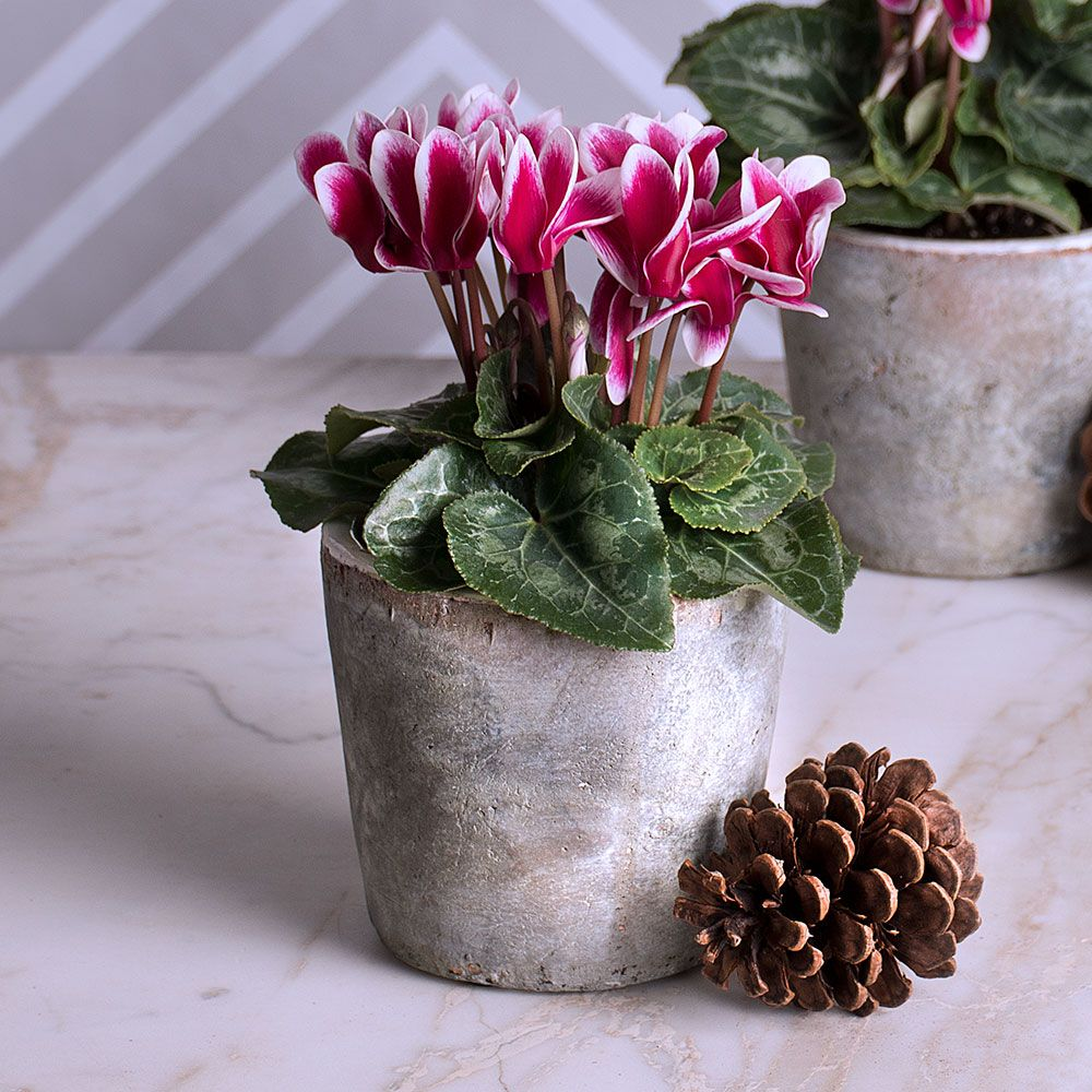 Cyclamen Fantasia® Deep Magenta in marbleized ceramic pot