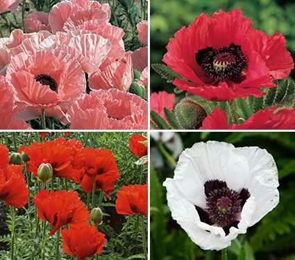 Rainbow Sampler of Oriental Poppies