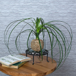 Ponytail Palm in Mossy Orb