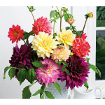 Dahlias For Cutting 6 tubers