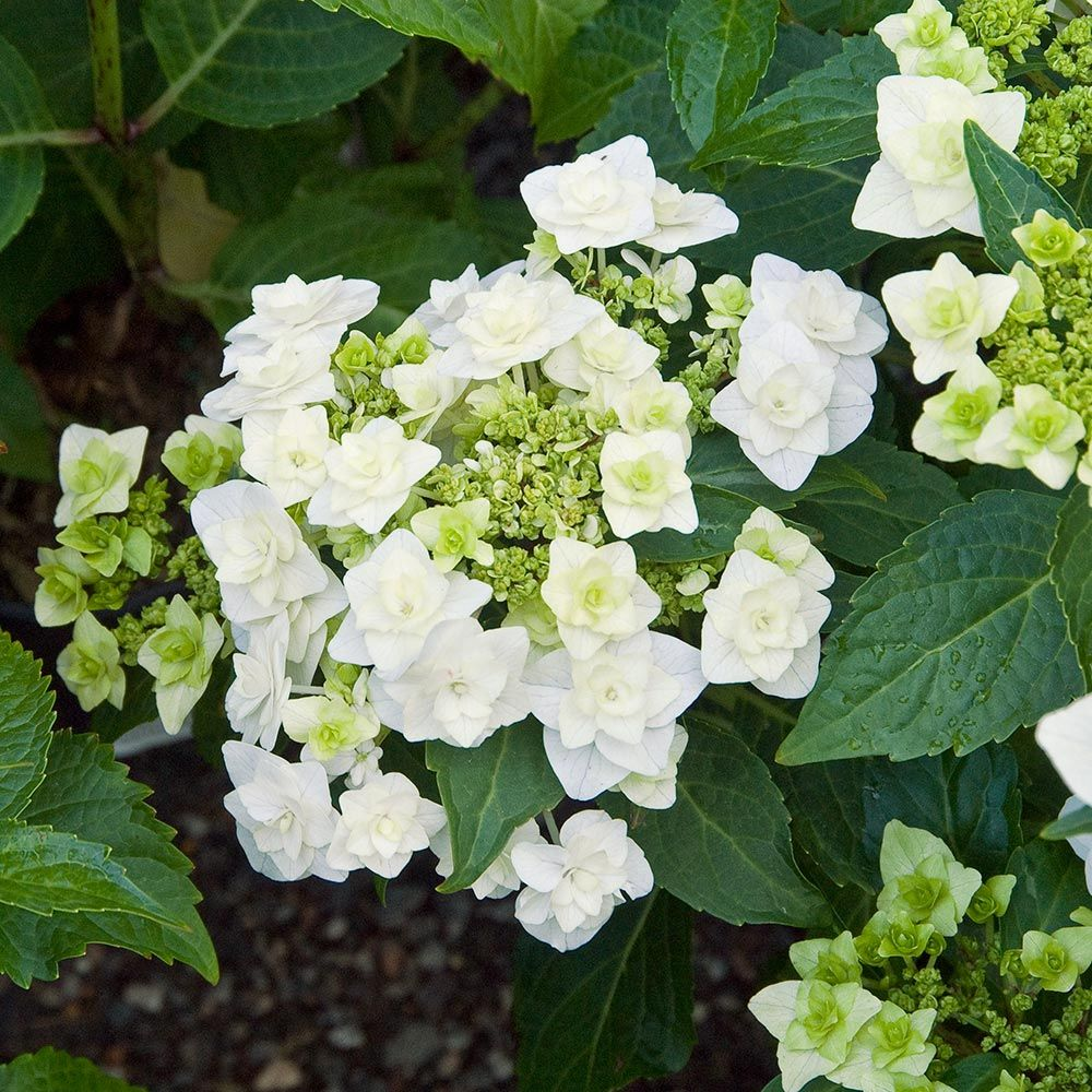 Wedding White Hydrangea: Hydrangea Macrophylla Wedding Gown