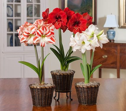 A Classic Trio of Amaryllis, 3 bulbs in woven baskets