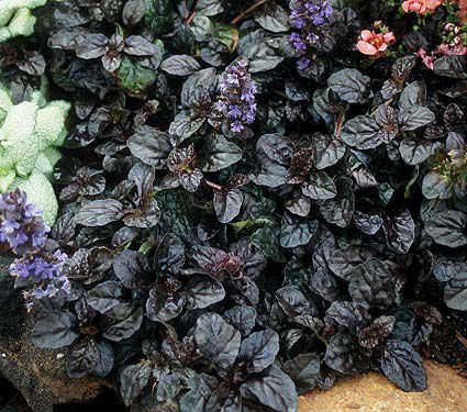 Ground Covers for Sun