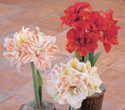 Amaryllis Double Trio