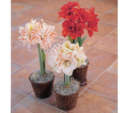 Amaryllis 'Double Trio'