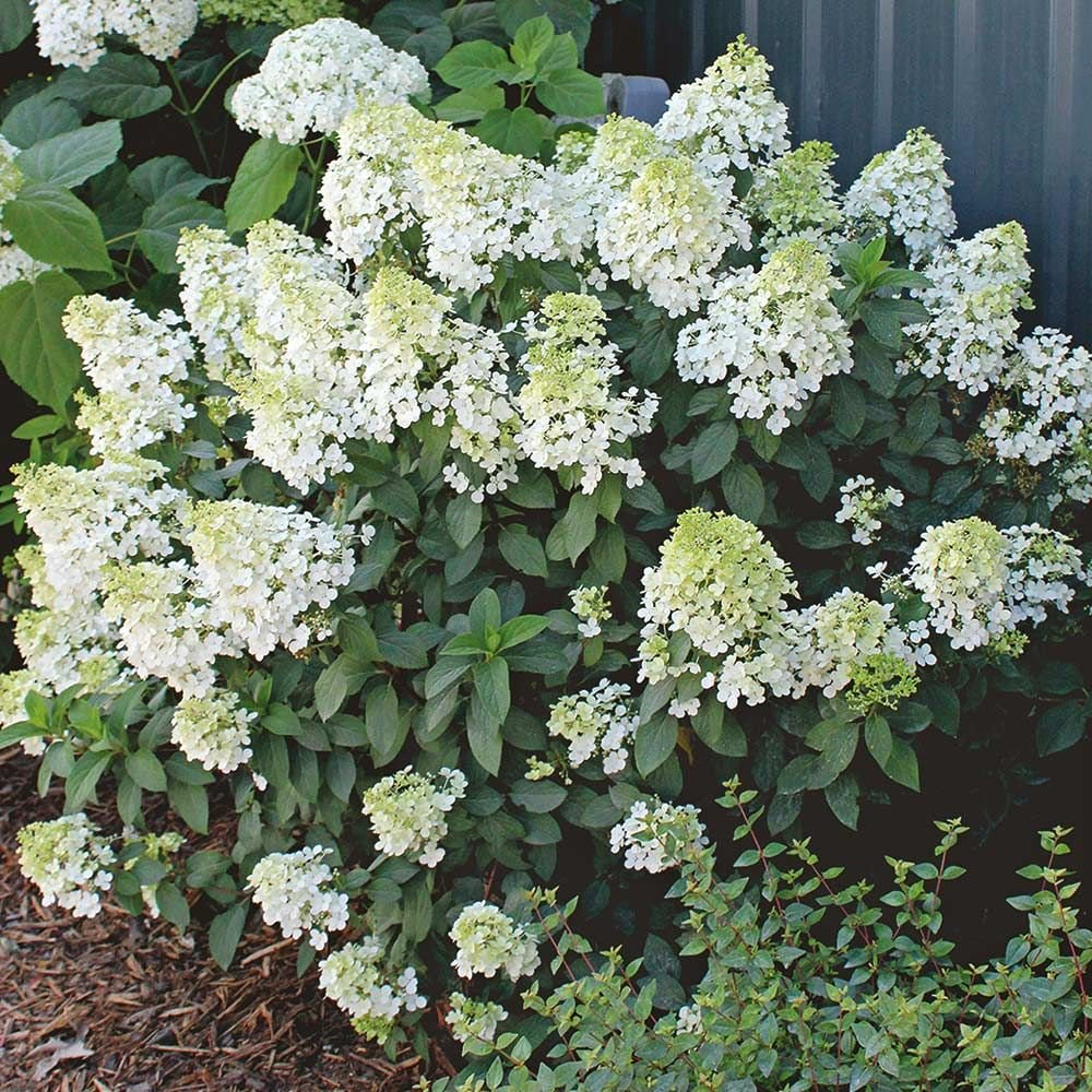 hydrangea paniculata bobo white flower farm. Black Bedroom Furniture Sets. Home Design Ideas