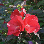 Hibiscus 'Midnight Marvel'