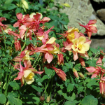 Aquilegia 'Swan Pink and Yellow'