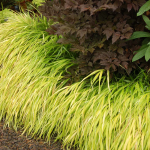 Ornamental Grass: Hakonechloa macra 'All Gold'