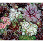 Sempervivum Sampler