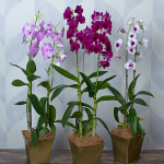 Three Months of Dendrobium Orchids - Grower's Choice
