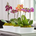 Three Months of Mini Moth Orchids