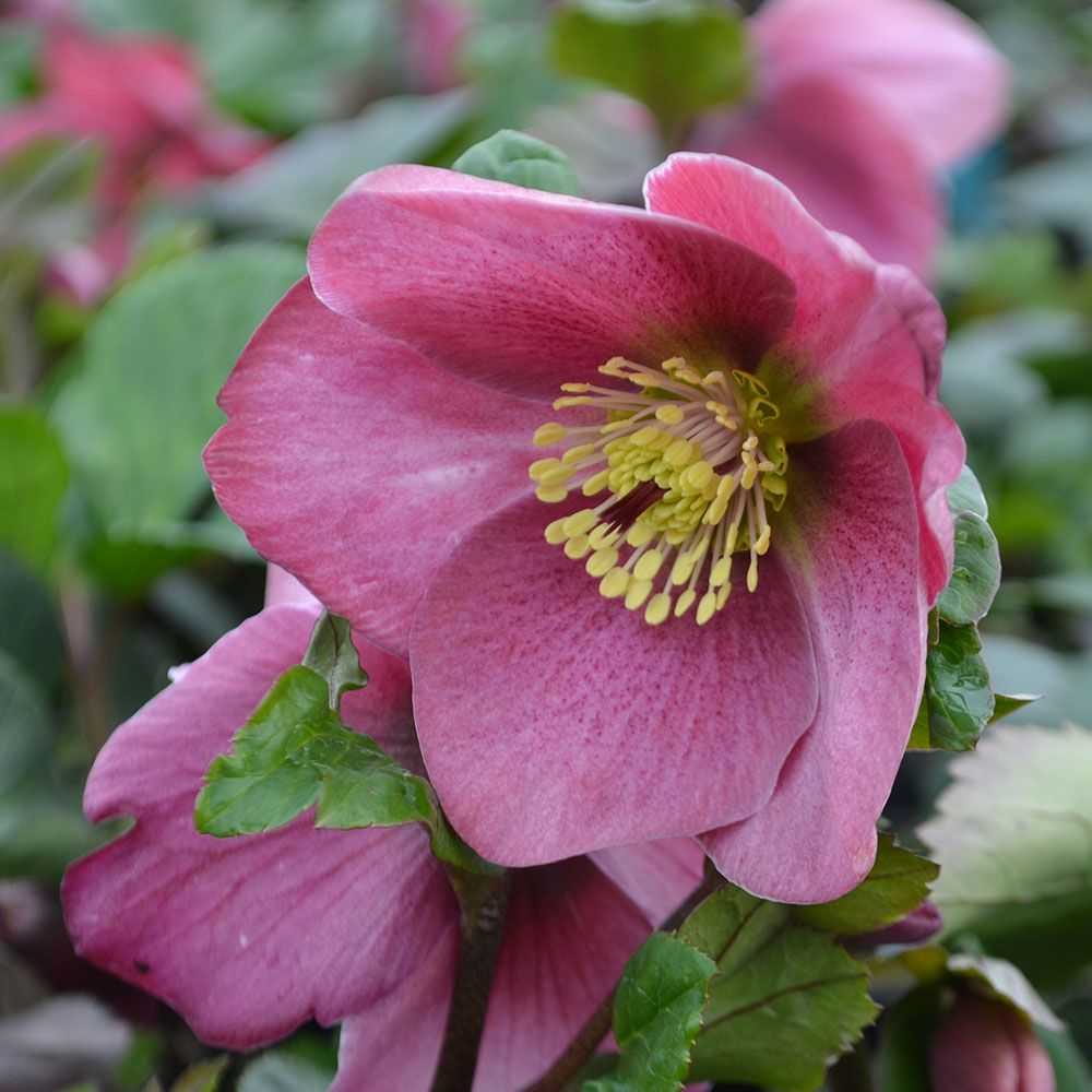 Helleborus Gold Collection® Madame Lemonnier