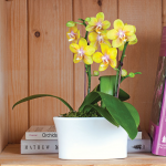Yellow Mini Moth Orchids