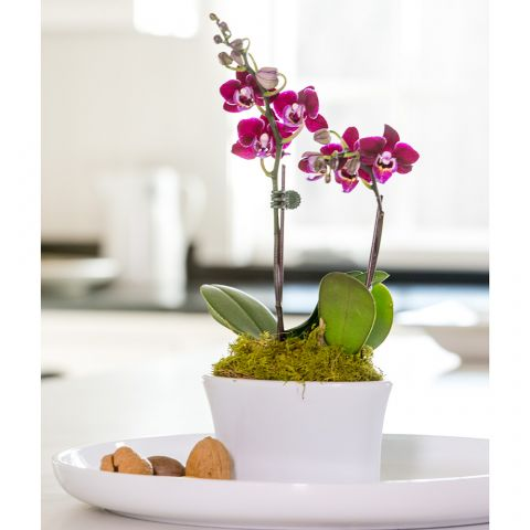 Deep Red Mini Moth Orchids in ceramic cachepot