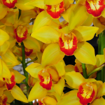 Exclusive Yellow Cymbidium Orchid in woven basket
