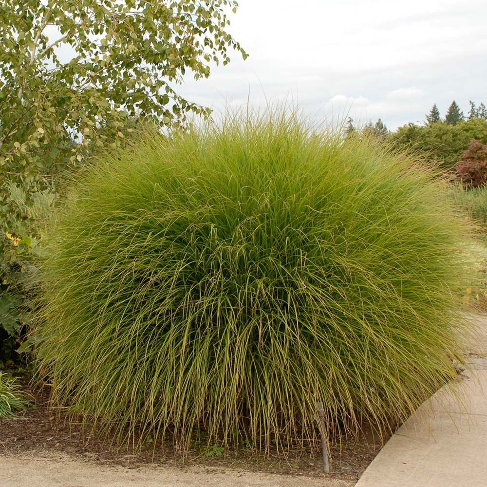 Ornamental grass miscanthus sinensis gracillimus white for Tall garden grasses