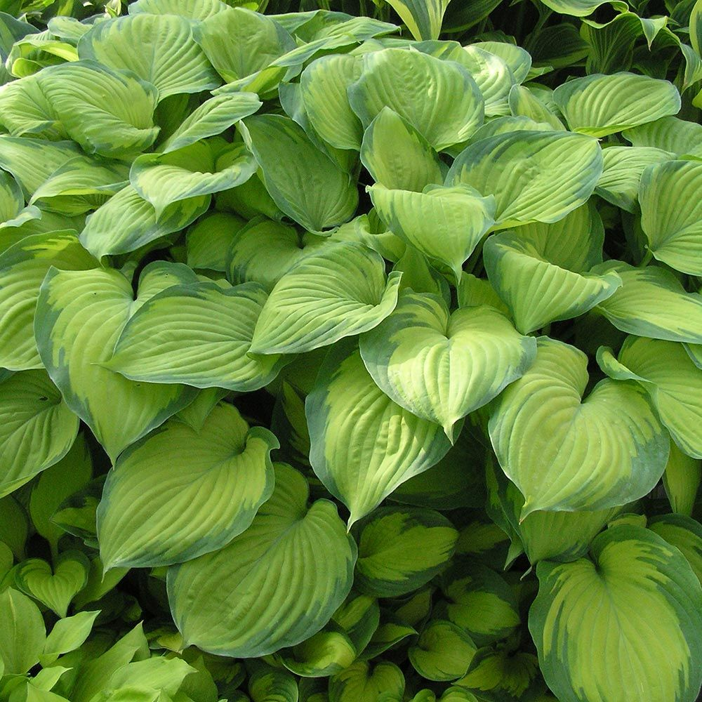 Hosta Guacamole White Flower Farm