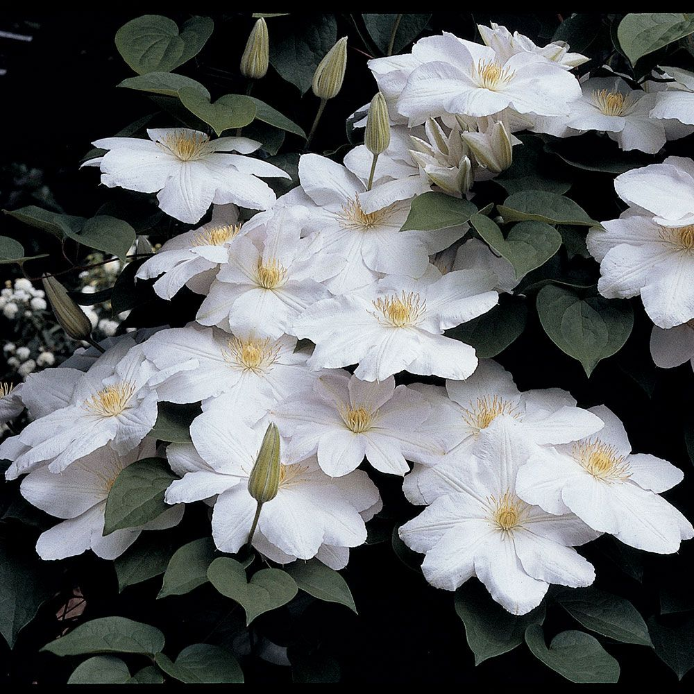 Clematis Candida White Flower Farm