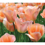 Heirloom Tulips