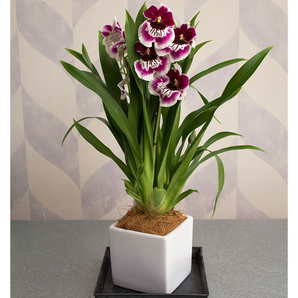 White And Burgundy Miltonia Orchid In 5 Ceramic Cachepot White