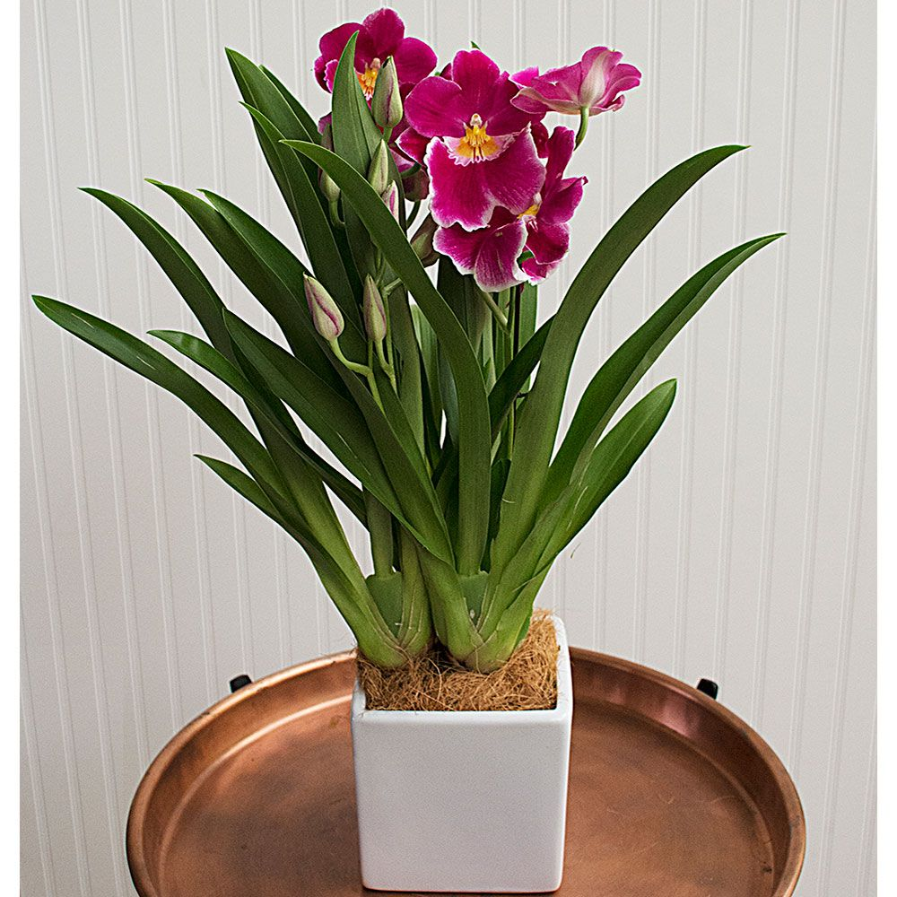 Pink Miltonia Orchid In 5 Quot Ceramic Cachepot White Flower