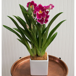 Pink Miltonia Orchid in 5
