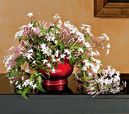 Jasmine in red foil pot
